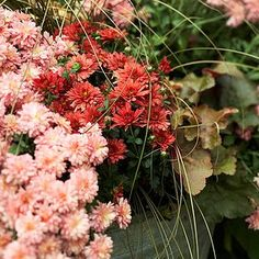 When You Should Set Out Your Mums Perennial Geranium, Cranesbill Geranium, Shade Flowers, Lavender Flowers, Pink Flowers, Shade Plants, Hydrangea Colors, Fall Flowers, Colorful Flowers
