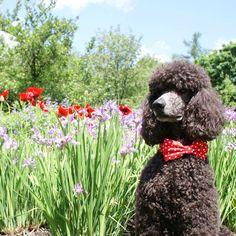 Bow tie dog collar,red Www.fierpet.etsy.com