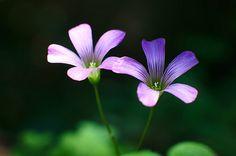 violet woodsorrel - むらさきかたばみ