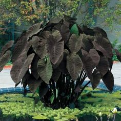 Tropical Elephant Ear Bulbs Perennial Colocasia Flower Leaves Plants Pot Bonsai - Ideas of Bulbs Plants Black Elephant Ears, Elephant Ear Bulbs, Elephant Ear Plant, Purple Elephant, Pond Plants, Landscaping Plants, Water Plants For Ponds, Water Garden Plants, Koi Ponds