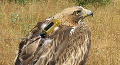 #Aves monitorizadas por #GPS