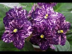 Сенполия Fisher's Leone. Селекционер Е.Fisher Бархатные сливово-пурпурные анютины глазки с обильными полосками розового фэнтези. Темно-зеленая листва.