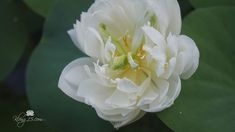 Nelumbo nucifera 'Carl Icahn' Lotus บัวหลวงขนาดเล็ก 'คาร์ล ไอเคน' @Klong... Nelumbo Nucifera, Plants, Plant, Planets