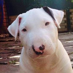 This dog needs a duster on his back! Bull Terrier