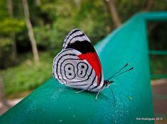 Mariposa llamada 88 tomada en el Parque Natura, Xalapa, Ver. Mex.