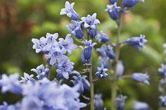 'Bluebells 2' #flower #photo by Steve Purnell