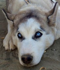 Siberian Husky look at those gorgeous baby blue codysdogsite.com