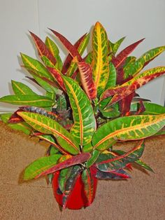 Colours of Africa  'CONGO' Wider leaves in colours of green, yellow, red and orange.