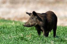 Feral Swine and Brucellosis: How Hunters Can Minimize Risk http://www.clemson.edu/public/lph/ahp/disease_links/brucellosis_pigs.html