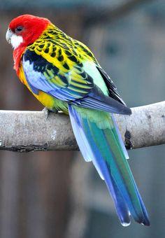 Colorful Animals, Colorful Birds, Beautiful Birds, Animals Beautiful, Amazon Birds, Australian Parrots, Funny Birds, Tropical Birds, Bird Illustration