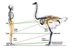 ostrich vs human anatomy - why are ostriches so fast? Animal Anatomy, Human Anatomy, Anatomy Sculpture, Timberwolf, Animal Skeletons, Dog Health Tips, Body Drawing, High Fantasy, Pen And Paper