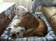 English bulldogs - OMGosh - this is so typical for bullies - love them! Bulldog Pics, English Bulldog Puppies, British Bulldog, Mundo Animal, My Animal, I Love Dogs, Puppy Love, Cute Puppies, Cute Dogs