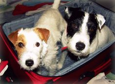 I'll take 2 Jack-Russell-Terriers 'to-go' please :)  *meet Maggie & Wrangler*