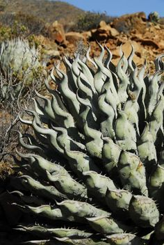 Although Agave gypsophila has wavy leaves it doesn't have the bulk of Agave sebastiana. Native to Cedros Island, Mexico. Weird Plants, Unusual Plants, Rare Plants, Exotic Plants, Cool Plants, Cacti And Succulents, Planting Succulents, Cactus Plants, Agaves