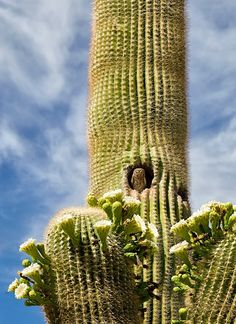 5.13 A small owls perches in a saguaro cactus.