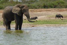 Uganda Uganda, Elephant, Animals, Animales, Animaux, Elephants, Animal, Animais