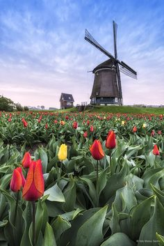 good morning Holland by Marco Santin ~ Amsterdam** Windmills In Amsterdam, Blowin' In The Wind, Tulip Fields, Beautiful Dream, World Best Photos, Landscape Photos, Beautiful Landscapes, Wonders Of The World, Mother Nature