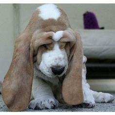 Basset Hound Puppy (I WOULD NAME HIM DUMBO)