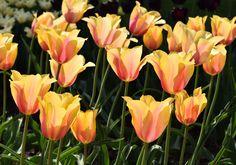 Tulipán jednoduchý pozdní Blushing Lady