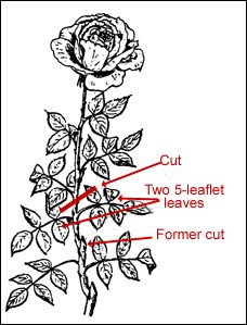 Dead-heading is the removal of faded flowers before they can develop seed. Dead-heading is a form of summer or day-to-day pruning. The standard recommendation is to cut the flower stem back to an outward-facing bud above a five-leaflet or seven-leaflet leaf.