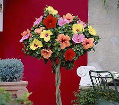 8 Best Hibiscus Tree Images In 2014 Hibiscus Hibiscus Tree