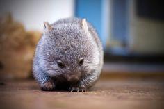 Baby wombat- I want one!
