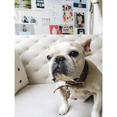 edgarthefrenchie - office frenchie