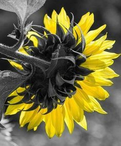 Sunflower - by Sunflower Colors, Sunflower Art, Color Splash, Color Pop, Happy Flowers, Shades Of Yellow, Black And White Colour, Amazing Flowers, Mother Nature