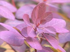 Low-Maintenance Plants for Easy Landscaping: The velvet cloak smoke tree has beautiful, deep purple leaves. br br Large deciduous shrub or small tree with deep purple leaves and puffs of pink flowers in early summer. Gardening Zones, Easy Landscaping Diy, Plants, Easy Landscaping, Lawn Care Diy, Landscape Design, Garden Shrubs, Low Maintenance Plants, Diy Landscaping