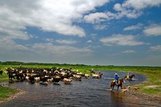 Lykes Ranch cowboys lead a herd of cattle across Fisheating Creek. This historic section of the Lykes Ranch was sold to the State of Florida to create in Fisheating Creek Wildlife Management Area, where cattle remain a sustainable part of the ecosystem. Vintage Florida, Old Florida, State Of Florida, Florida Travel, Okeechobee Florida, Coast Style, I'm Still Here, Florida Living, Ranch Life