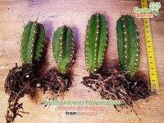 Rare plants, cacti and seeds as well as healthy foods from all over the world and wonderful incenses, etc. Rare Plants, Cactus Plants, Incense, Seeds, Healthy Recipes, Garden, Nature, Food, Garten
