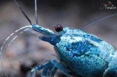 Blue Bolt shrimp--freshwater