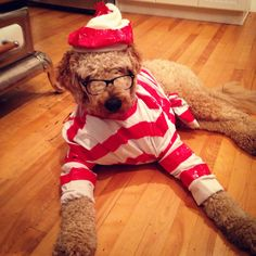 My one year old Goldendoodle Lenny spends most of his time trying to find our cat Waldo who is terrified of him... Made for a great Halloween costume inspiration :) #goldendoodle #whereswaldo #dogcostumes #halloweencostumes