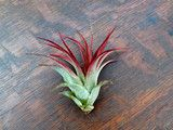 The Brachycaulos Abdita Tillandsia. Love the red leaves! #Airplants #Tillandsia