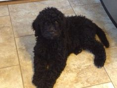 Black Goldendoodle