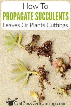 Get answers to all the questions you've ever had about how to propagate succulents at home with my detailed step by step guide and essential tips. It's easy to get your succulents propagated from either leaves or stem cuttings, and I can show you how to properly take those cuttings and how to get them rooting for successful repotting. I share advice from years of experience, and you'll discover how easy it is to grow baby succulents and expand your collection with just a few propagation tools.