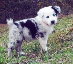 Phantom the Australian Shepherd Pictures... My favorite dogs ever. I will have one. Yes. I will.