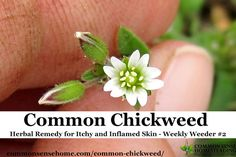 Range and identification of common chickweed, plus tips for using chickweed for food, medicine and wildlife, and controlling chickweed in the garden.