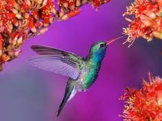 """Hummingbird Animal Totems offer attributes like:  energy  vitality  joy  renewal  sincerity  healing  persistence  peace  infinity  agility  playfulness  loyalty  affection  The Hummingbird animal totem most important message to you is:  """"The sweetest nectar is within!"""""""