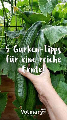Cuidar y cosechar pepinos: mis consejos para una cosecha rica - ¡Estos consejos pueden ayudarlo a esperar una maravillosa cosecha de pepino en verano!