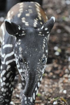Baby tapir at Edinburgh Zoo.
