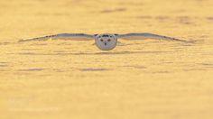 Sunset Flight - Snowy Owl by jeffwendorff. @go4fotos