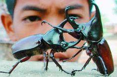 Battling Rhinoceros Beetles: One of my favorite beetles!  #Rhinoceros_Beetle