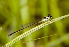 Damselflies, such as the Fragile Forktail (Ischnura posita), generally perch with their wings back over the abdomen, are not strong fliers and rarely have color in their wings.