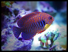 What is the prettiest fish in your reef? Click the link to see which fish our members are recommending.