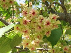Prunus lannesiana 'Gioiko' AKA Prunus serrulata 'Gyoiko'