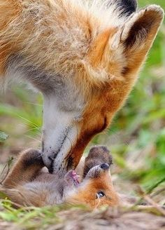 A male fox and his playful month-old cub! Photography by Igor Shpilenok, in the Kronotsky Nature Reserve, Kamchatka, a remote peninsula in the Russian far east.