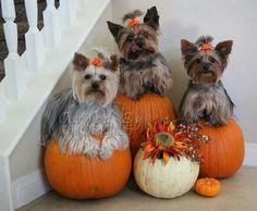 Sweet little Pumpkins