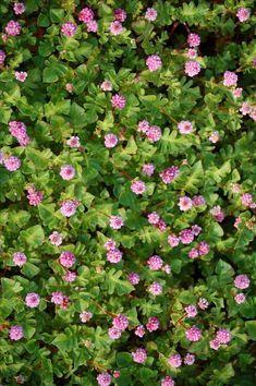 On cherche toujours LA vivace couvre-sol qui fleurit tout l'été, celle dont la floraison court sur plusieurs mois, la vivace qui ne s'arrête jamais de fleurir, celle qui garnit et...