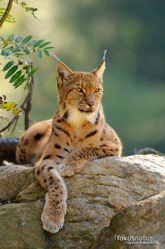 Luchs (Lynx lynx)                                                                                                                                                      Mehr
